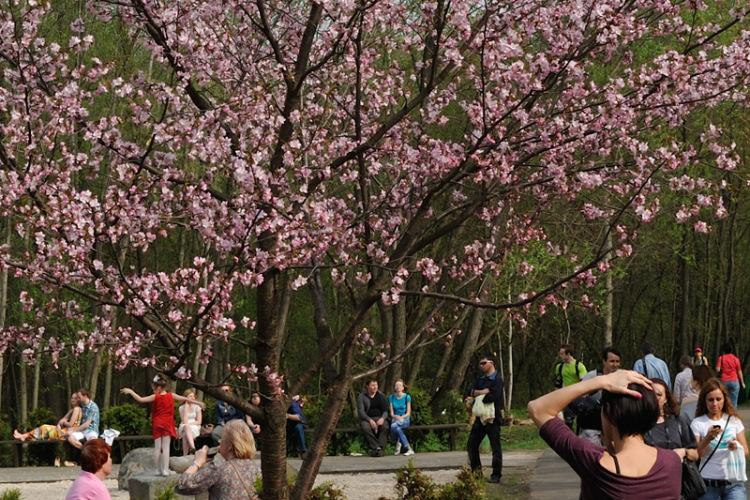 Где и когда цветет сакура в Москве в 2018 году? Достопримечательности